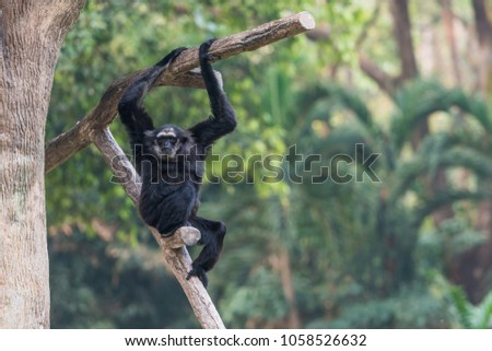 Shutterstock The male Pileated Gibbon have a purely black fur caused by  sexual dimorphism in fur coloration.