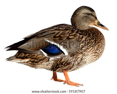 The Mallard (Anas platyrhynchos) in front of white background, isolated.