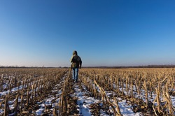 The man in jeans and a jacket with a hood goes across the field of slanted corn. Winter cloudless day, the snow is lies between cut-off stalks. Blue sky and golden, dry stalks of corn