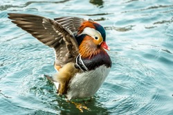 The mandarin duck (yuanyang) is a perching duck species found in East Asia, The mandarin, widely regarded as the world's most beautiful duck.