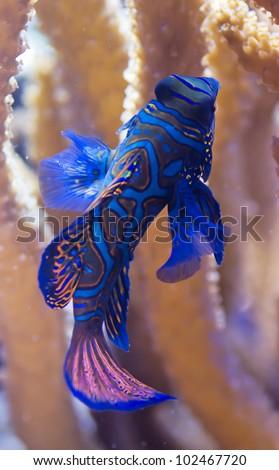 The Mandarinfish or Mandarin dragonet, Synchiropus splendidus