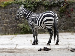 The maneless zebra, Equus quagga borensis, is the rarest subspecies of the zebra