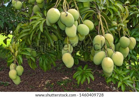 The mango (Mango fruit (MANGIFERA INDICA ) is a fleshy stone fruit belonging to the genus Mangifera, consisting of numerous tropical fruiting trees, that are cultivated mostly for edible fruits #1460409728