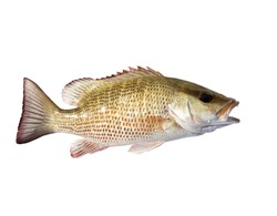 The mangrove snapper or gray snapper (Lutjanus griseus) with open mouth. Isolated on white background