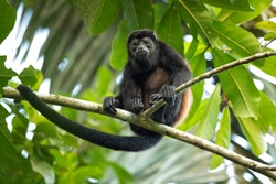 The mantled howler (Alouatta palliata), or golden-mantled howling monkey, is a species of howler monkey, a type of New World monkey, from Central and South America.