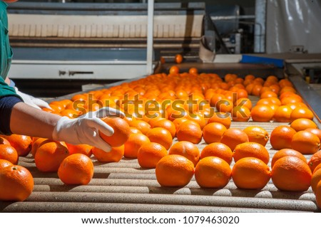 The manual selection of fruits: a worker ckecking oranges to reject the seconde-rate ones #1079463020