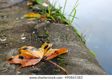 The maple leaf lying down on the bank of the river