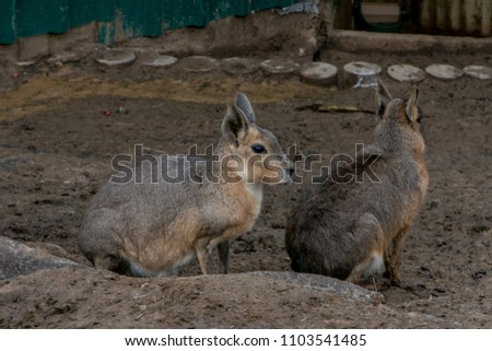The mara, (Dolichotis patagonum) is a species of rodent in the family Caviidae.
