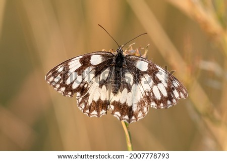 The marbled white butterfly (Melanargia galathea,), is a medium-sized butterfly in the family Nymphalidae. Stock photo ©