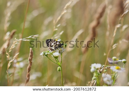 The Marbled White Butterfly on a Meadow Flower. Melanargia Galathea is a medium-sized Butterfly in the family Nymphalidae. Stock photo ©