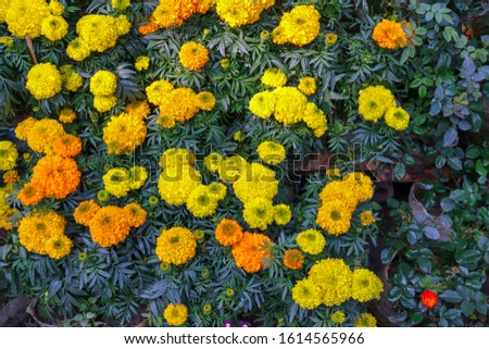 The marigold flowers in the garden. Nature, plants, botany, yellow