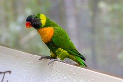 The marigold lorikeet (Trichoglossus capistratus) is a species of parrot that is endemic to the south-east Asian islands of Indonesia and East Timor.