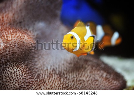 The Marine Fish - Ocellaris clownfish