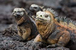 The marine  iguana poses. / The marine  iguana poses on the black stiffened lava.