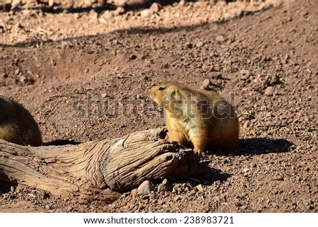 The marmot. Higher society animal.  Stares at the rest of group for situation awareness.