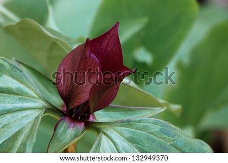 The maroon petals of a prairie trillium open above its green petals