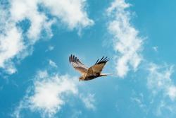 The Marsh Harrier flies against a beautiful, blue clouded sky, looking for prey