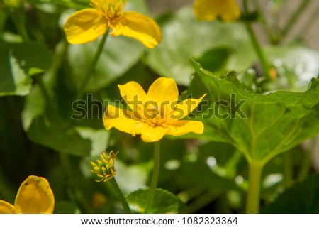The marsh-marigold or kingcup (Caltha palustris) #1082323364