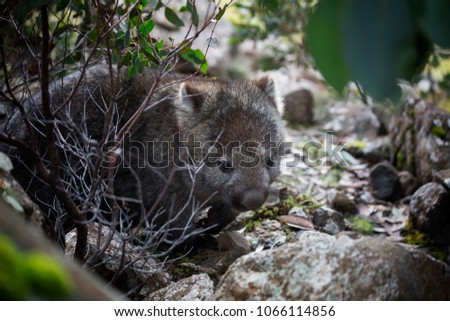 The marsupial Wombat of Australia pictured here in its natural habitat.