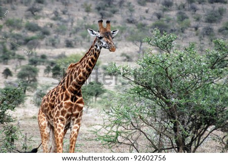 The Masai Giraffe or Maasai Giraffe, also known as the Kilimanjaro Giraffe is the largest subspecies of giraffe and the tallest land mammal. It is found in Kenya and Tanzania.