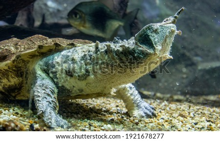 The mata mata is a freshwater turtle found in Wetlands South America, primarily in the Amazon.  a large, sedentary turtle with a large, triangular, flattened head with many tubercles and flaps of skin Zdjęcia stock ©