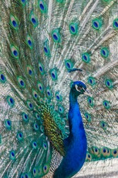 The mating dance of a peacock in the spring in April in Belogorsk Safari Park Taigan