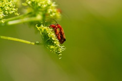 The mating process of common red soldier beetles, Rhagonycha fulva, on a plant. Isolated on nature background, selective focus. Copyspace.