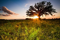 The McBaine Bur Oak is a national champion tree located in the Missouri River bottomlands outside of Columbia. The more than 350 year-old oak is simply known to many Mid-Missourians as