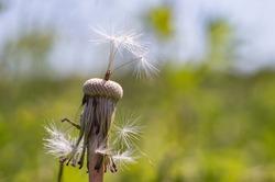 The medicinal dandelion. The white fuzz of the flower. Dandelion Taraxacum.