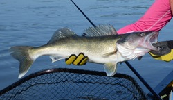 The medium bronze walleye fish being held horizontally in gloved hands over blue water a net and fishing rod on a sunny day