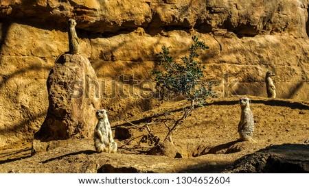 The meerkat or suricate (Suricata suricatta) is a small carnivoran belonging to the mongoose family (Herpestidae). It is the only member of the genus Suricata.