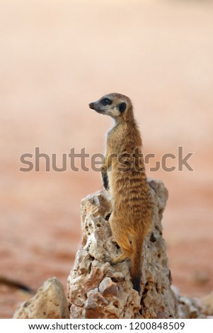 The meerkat or suricate (Suricata suricatta) patrolling near the hole. Young animal standing in the morning sun on the stone.