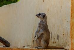 The meerkat (Suricata suricatta) or suricate standing on the tree stump