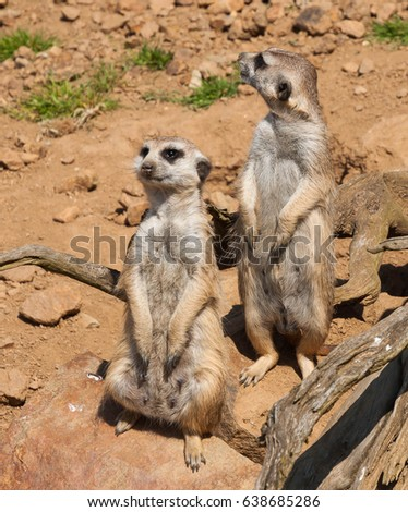 The meerkat watching and guarding in the safari
