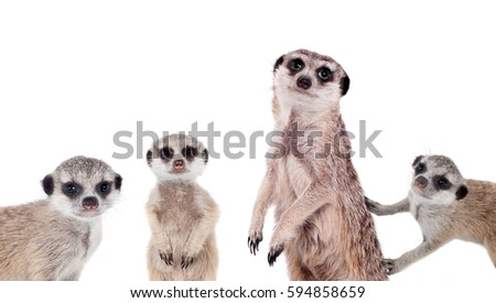 The meerkats on white