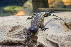The Mexican beaded lizard (Heloderma horridum) is a species of lizard in the family Helodermatidae, one of the two species of venomous beaded lizards found principally in Mexico and southern Guatemala