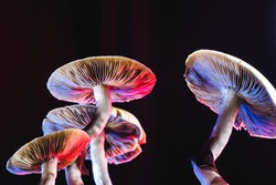 The Mexican magic mushroom is a psilocybe cubensis, whose main active elements are psilocybin and psilocin - Mexican Psilocybe Cubensis. An adult mushroom raining spores
