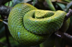 The Mexican Palm Pit Viper - Rowley's Palm Pit Viper (Bothriechis rowleyi) is a venomous green pit viper species found in Mexico.
