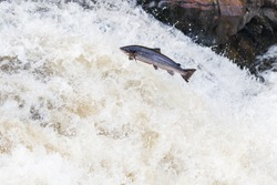 The mighty Wild Atlantic salmon travelling to spawning grounds during the summer in the Scottish highland. The salmon in this picture is leaping up the a very large waterfall called the Falls of Shin