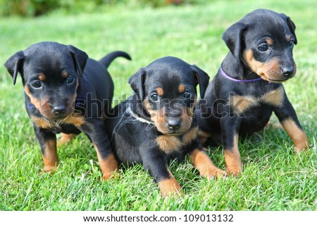 Miniature Pinscher Puppies on The Miniature Pinscher Puppies  1 Months Old Stock Photo 109013132