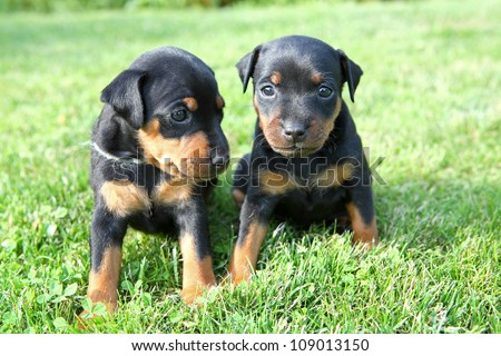 Pinscher Puppy Names The Miniature Pinscher Puppies