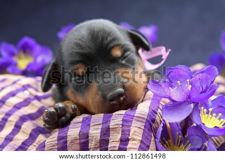 The Miniature Pinscher puppy, 5 days old