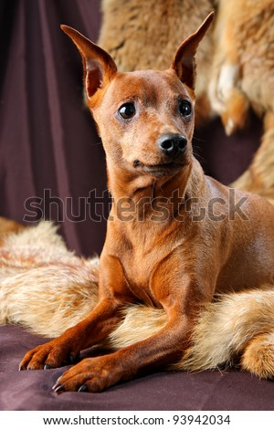 The Miniature Pinscher (Zwergpinscher, Min Pin) is a small breed of dog of the Pinscher type, developed in Germany. Miniature Pinschers were first bred to hunt.)