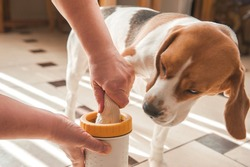 the mistress washes the dog's paws for a beagle and wipes the wet paws with a rag. glass for washing paws. paw washing device