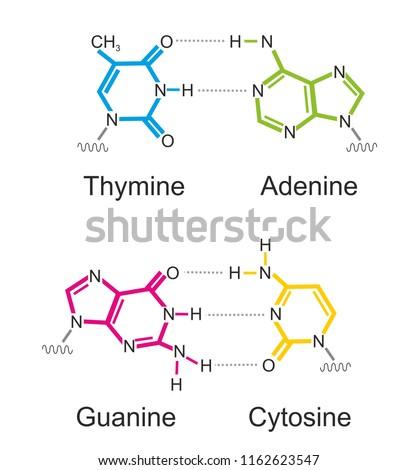 The molecular formula of deoxyribonucleic acid (DNA) bases: thymine, cytosine, adenine and guanine.