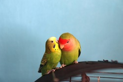 The moment of tenderness between a parrots of different species - budgerigar (parakeet) and rosy-faced lovebird. Two parrots, appear as one is whispering in another's ear