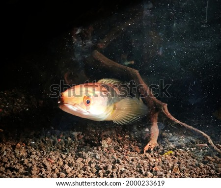the moment of the toman fish in the aquarium looking at me in the afternoon Imagine de stoc ©