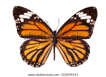 The Monarch butterfly (Danaus plexippus) isolated on white