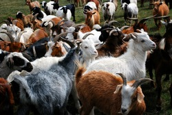 The Mongolia cashmere goat is a local dual-purpose breed with a long history.