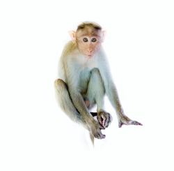 The monkey as mirror of human emotions: I am a good boy (honest eyes, quality Joe). Indian macaques lat Macaca radiata wild animal primates on white background, young monkey